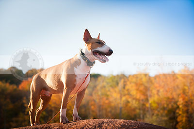 happy tan and white dog standing on ridge in autumn sunshine