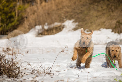 two airedales racing together across a snowy field