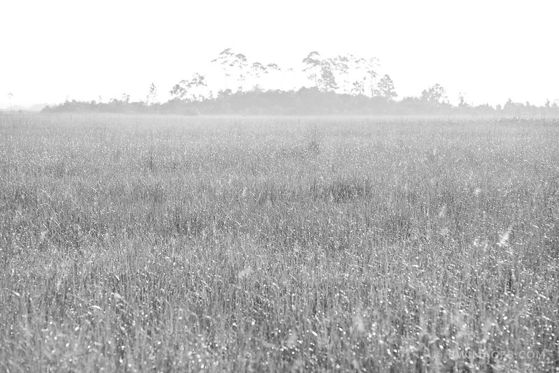 SAWGRASS PRAIRIE AND HARDWOOD HAMMOCK PA-HAY-OKEE EVERGLADES NATIONAL PARK FLORIDA BLACK AND WHITE