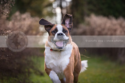 big goofy dog ears up slobbering running in park in summer