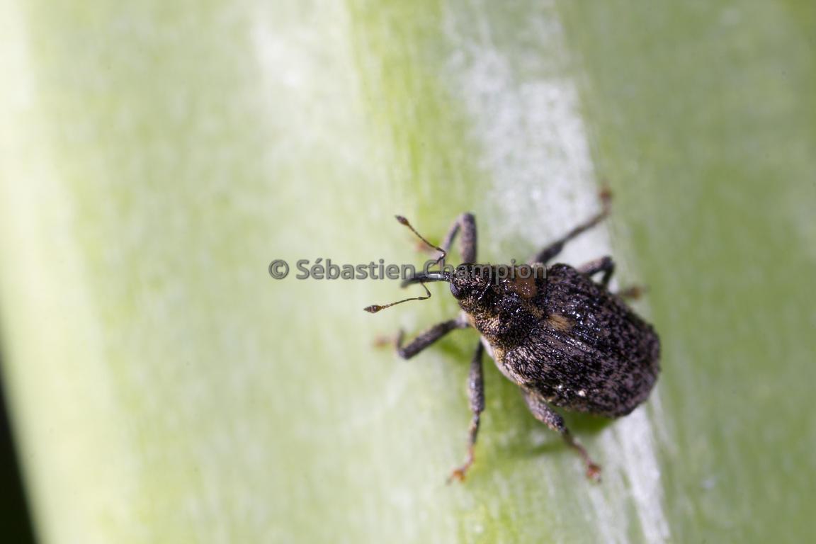 photographie larve d altise dans une tige de colza agricole