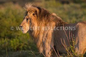 male_lion_profile_ndutu_02202015-1-Edit