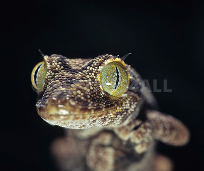 Spiny-tailed gecko  (Strophurus ciliaris) photos