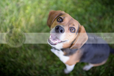 tricolor beagle dog looking upward from mowed grass