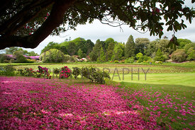 Rhododendron petal carpet by Round Pond