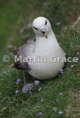 Northern Fulmar (Fulmarus glacialis) sitting in a bed of Spring Squill (Scilla verna), Burravoe, Yell, Shetland