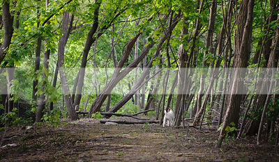 small white dog standing in landscape with trees