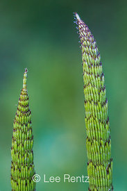 Horsetail, Equisetum sp., in the Washington Park Arboretum