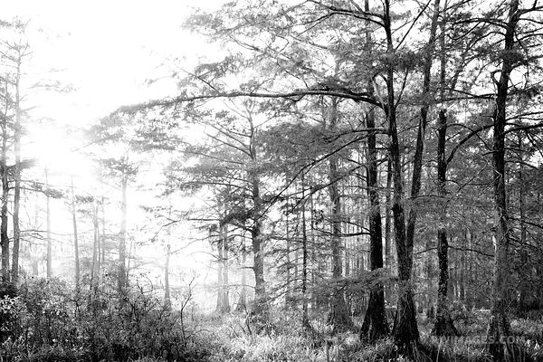 LAKE MARTIN LOUISIANA SWAMP FOREST BLACK AND WHITE