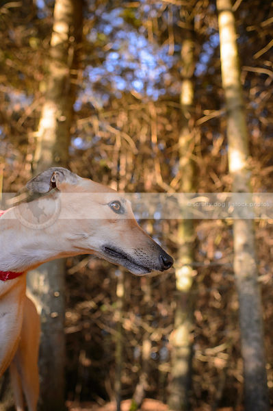 headshot of fawn greyhound dog in pine tree forest