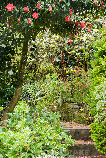 Steps lead up the terraced slope beside the house through a rich medley of flowering shrubs and herbaceous perennials including camellias, azaleas, heathers, conifers and hellebores. Greencombe Garden, Porlock, Somerset, UK
