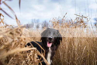 portrait of longhaired dog hiding in dried grasses with sky