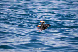 Tufted puffins copulating around the Inian Island, Alaska.