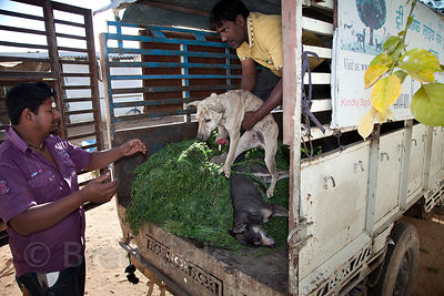 Staff at the Tree of Life for Animals rescue center in Pushkar, India receive a dog from nearby Ajmer that was hit by a train, severing its front legs