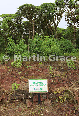 Estamos Reforestando (We are reforesting) Tree Scalesia (Scalesia pedunculata), Santa Cruz Highlands, Galapagos Islands