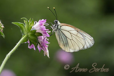 A Black-veined White female resting on a Wood Scabious flower in a wet meadow.