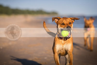 two happy cross breed dogs fetching playing with ball on beach