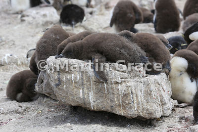 Southern Rockhopper Penguin (Eudyptes chrysocome chrysocome) chicks resting in the colony, Cape Coventry, Pebble Island