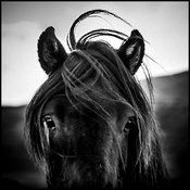 Focus on horse's ears, Iceland 2015 © Laurent Baheux