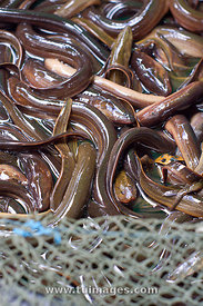 live eel fish for sale