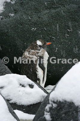 Moulting Gentoo Penguin (Pygoscelis papua), Petermann Island, Antarctic Peninsula