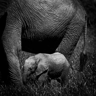 8321-Baby_elephant_protected_by_an_adult_Laurent_Baheux