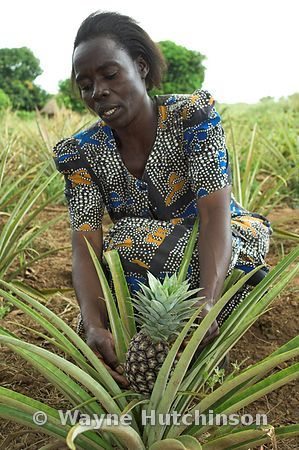 Woman picking pineapple fruit from plant Uganda Africa