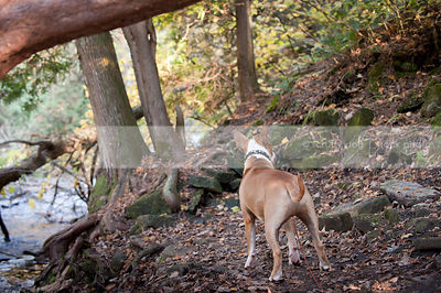 alert dog from behind standing waiting near stream in forest
