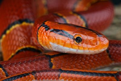 Red bamboo ratsnake / Oreocryptophis porphyraceus laticinctus photos