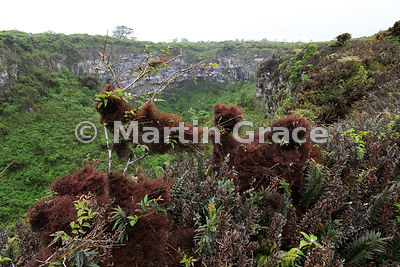 Epiphytic growth of ferns and the endemic moss-like liverwort Bryopteris filicina (liebmanniana), Santa Cruz Highlands, Galapagos
