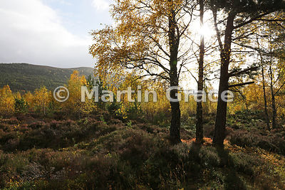 Sunlit autumnal birch trees (Betula sp) in Glen Feshie, with Scots Pines (Pinus sylvestris var scotica) on the hillside behind, Inverness-shire, Scotland
