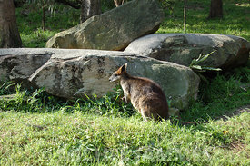 Zoo de Sydney : un Wallaby