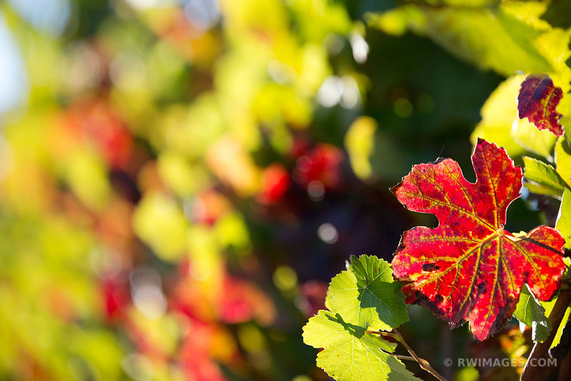 GRAPEVINE LEAF FALL COLOR VINEYARD NAPA VALLEY CALIFORNIA