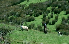 Ireland, Man dog and ewe