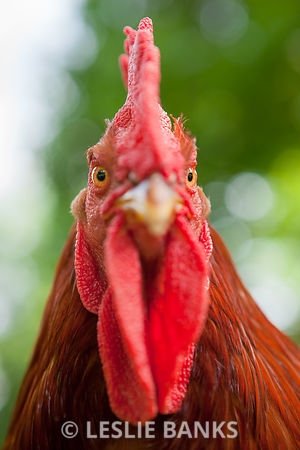 Rhode Island Red Rooster close up