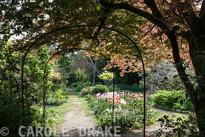 A metal pergola frames the central path through the Flower Garden below a spreading acer and above a mass of tulips. Enys Gardens, St Gluvias, Penryn, Cornwall, UK