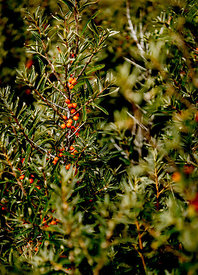 Danish sea buckthorn 3