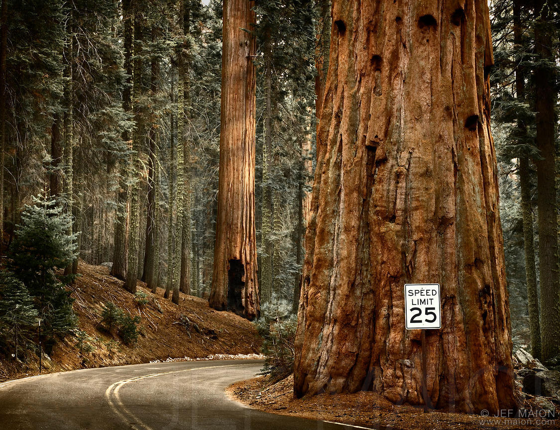 Winding forest road and big tree
