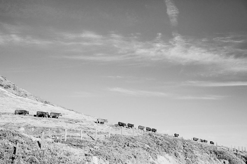 COWS IN PASTURE BIG SUR CALIFORNIA BLACK AND WHITE