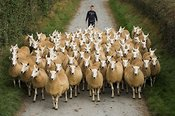 Young boy driving sheep down road , Wales