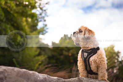 groomed small dog looking away on rock under sky with trees