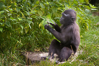 Young Crested Macaque studies a plant