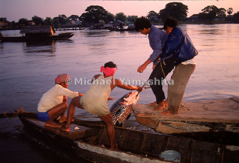 Barrage-net fishermen pull a 300-pound carp from the Tonle Sap, north of Phnom Penh. The lake, Cambodia's richest fishing spot, is also the Mekong's regulator, collecting the overflow from the river during the rainy season and swellling to five times its normal size.