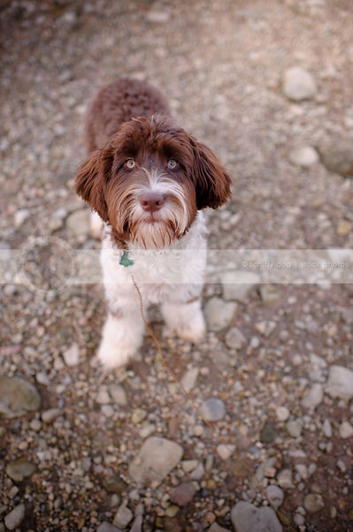 brown and white portuguese water dog looking upward