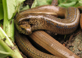 Slow-worm Mating Ritual 2