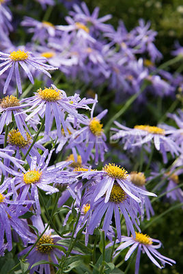 Aster x frikartii 'Monch', AGM. Waterperry Gardens, Wheatley, Oxfordshire, UK