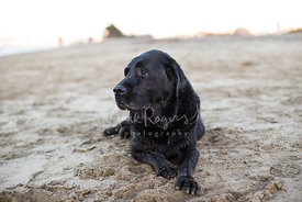 Black lab laying in the sand