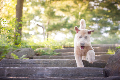 blond soft coated wheaten dog looking at camera on stone steps