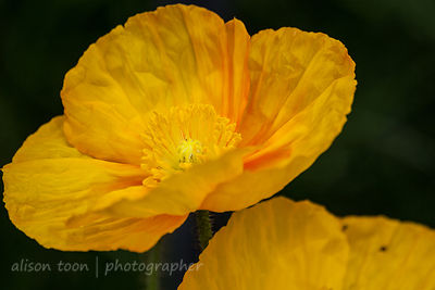 California poppies, orange