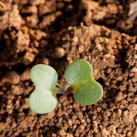 Semences et plantules photos